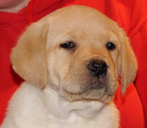 My yellow lab puppy I named CABO